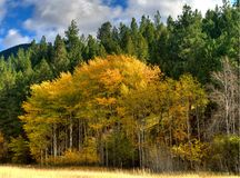 Fall Aspens. Fronting a fir and cottenwood forest.  Gold leaves with white bark, bordering a Montana meadow Royalty Free Stock Image