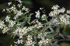 Fall Aster Royalty Free Stock Photography