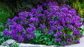 Fall Aster On Green Garden Background. Full Bloom Stock Photos