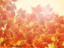 Fall autumn blurred background. Blurred colorful red and orange autumn leaves with sun rays. Stock image royalty free stock photography
