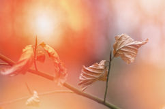 Fall autumn brawn dry leaves background blur. Autumn background with sunset.. Royalty Free Stock Photos