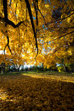 Fall Autumn Colors Maple Tree Yellow Leaves Royalty Free Stock Image