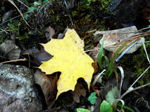 Fall. Autumn dry leaf leaves yellow Stock Photography