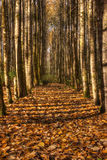 Fall Autumn Gold. Autumn hdr scene with rows of birch trees and colourful leaves on the ground royalty free stock photo