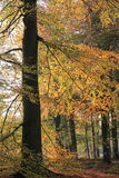 Fall Autumn golden colored trees in park Stock Image