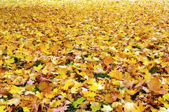 Fall autumn leaves. A ground covered with fall leaves stock photo