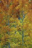 Fall autumn leaves. Trees with yellow and orange fall leaves Stock Image