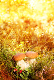 Fall, autumn, leaves background. Mushrooms and berries in the fo Royalty Free Stock Photo