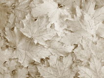 Fall / Autumn leaves background - Stock Photos. Fall / Autumn leaves background - brown maple backdrop stock images