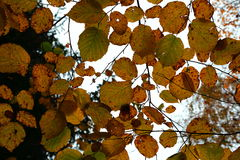 Fall, autumn, leaves, background. Tree branch with autumn leaves hazel on blurred background Royalty Free Stock Image