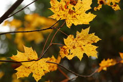 Fall, autumn, leaves background. A tree branch with autumn leaves of a maple on a blurred background Royalty Free Stock Photo
