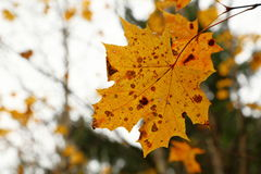 Fall, autumn, leaves background. A tree branch with autumn leaves of a maple on a blurred background Stock Photography