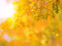 Fall, autumn, leaves background. A tree branch with leaves of a Stock Photo