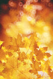 Fall, autumn, leaves backgroung. A tree branch with autumn leave. S of a maple on a blurred background Royalty Free Stock Images