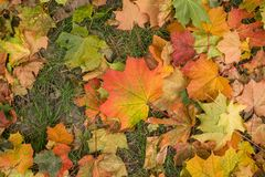 Fall autumn leaves on green grass background closeup stock image