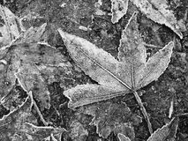 Fall Autumn Leaves on Ground in Winter with Frost Stock Image