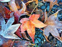 Fall Autumn Leaves on Ground in Winter with Frost Stock Photography