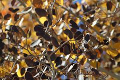 Autumn Leaves in the Sierras royalty free stock images