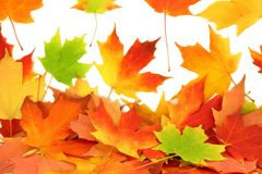 Fall autumn maple leaves Royalty Free Stock Photo