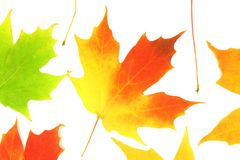 Fall autumn maple leaves Stock Photography