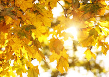 Fall. Autumn Maple Leaves Stock Photo