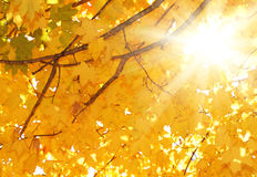 Fall. Autumn Maple Leaves. Royalty Free Stock Image