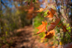 Fall Autumn Orange Leaves on Forest Path Royalty Free Stock Images