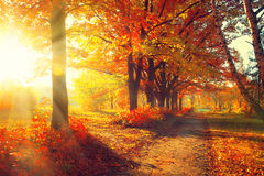 Fall. Autumn Park. Autumnal Trees and Leaves in sun rays Royalty Free Stock Images