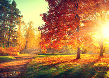 Fall. Autumn Park. Autumnal Trees and Leaves in sun rays