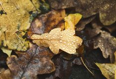 Fall autumn season background, fallen leaves under rain royalty free stock images
