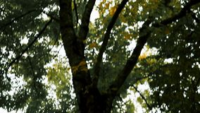 Fall autumn tree falling yellow leaves. Fall autumn tree falling yellow leaves stock footage
