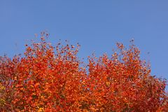 Fall autumn tree with red foliage leaves against a beautiful blue sky stock photography