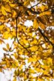 Fall autumn yellow orange leaves of chestnut tree pattern motif Royalty Free Stock Photos