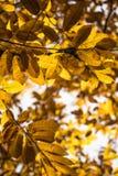 Fall autumn yellow orange leaves of chestnut tree pattern motif Stock Photo