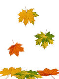 Fall of autumnal colorful leaves Stock Images