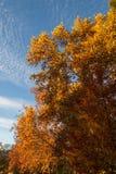 Fall-Bäume mit blauem Himmel Stockbilder