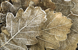 Fall background - oak leaves under hoarfrost Royalty Free Stock Images