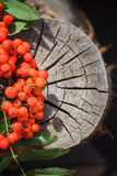 Fall background rowan fruits old stump Stock Photography