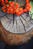 Fall background rowan fruits old stump Royalty Free Stock Photography