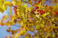 Fall background with yellow leaves, red berries Royalty Free Stock Photos