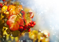 Fall background with yellow leaves, red berries Royalty Free Stock Photo