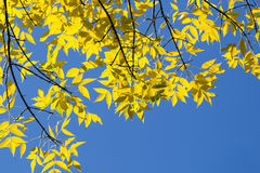 Fall: Backlit Yellow Elm Leaves in Blue Sky Stock Photo