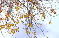 Fall- almost bare branches Royalty Free Stock Photos