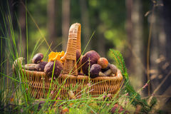 Fall basket full edible mushrooms forest Stock Photos