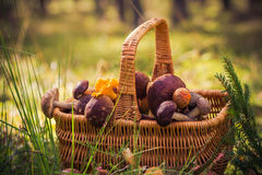 Fall basket full edible mushrooms forest Royalty Free Stock Images