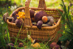 Fall basket full edible mushrooms forest Royalty Free Stock Photos