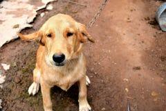 Fall beagle dog Royalty Free Stock Image