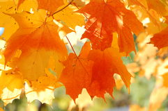 Fall beautiful leaves Stock Images