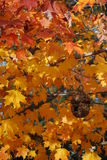 Fall Beauty. The turning fall foliage and the beauty of the maple Royalty Free Stock Photo