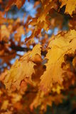 Fall Beauty. The turning fall foliage and the beauty of the maple Royalty Free Stock Photography